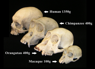 The facial angle of various primates can be clearly seen here: provided courtesy of the Museum of Comparative Zoology, Harvard University