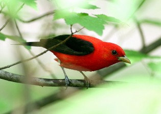 The lovely scarlet tanager